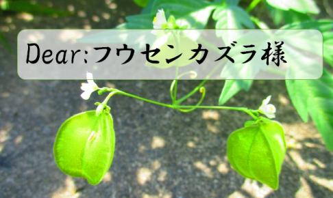 fuusenkazura